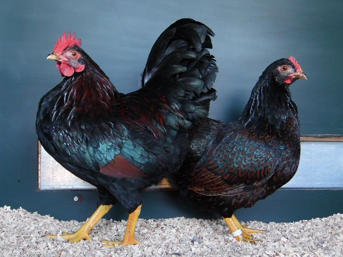rooster and hen - barnevelder rooster