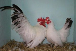 columbian japanese - bantam chickens breeds