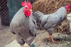 plymouth rock chicken - images of rooster
