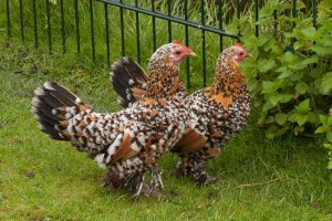 dutch bantam - booted