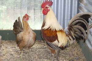 old english - game chicken breeds