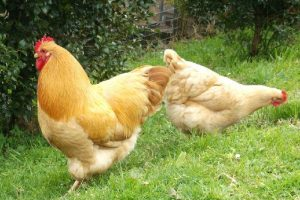 buff chicken breeds