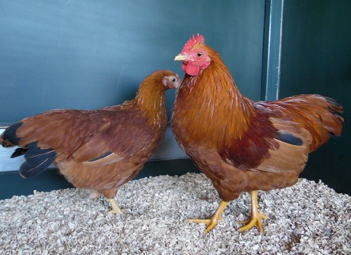 bantam type american chickens - new hampsire
