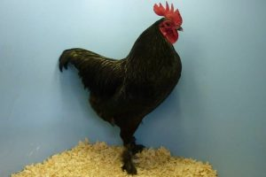 rare chicken breeds