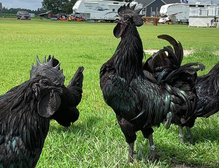 Ayam Cemani - indonesian Chickens