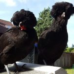 black - french - chickens - chicken breed