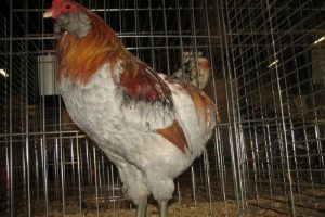 rooster - american