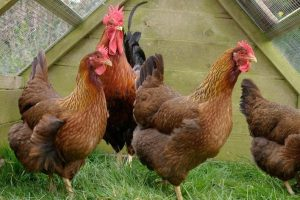 dutch breeds - large fowl - types of hen