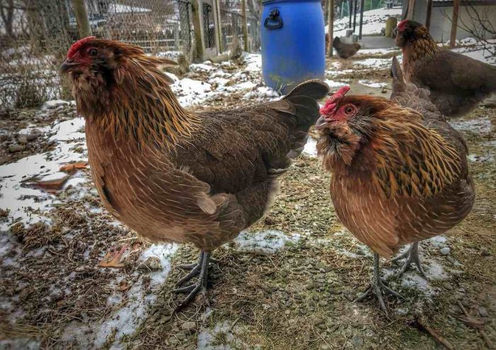 Swiss chickens - breeds - bearded chickens