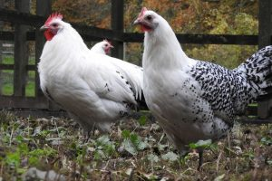 chicken breeds- german - east frisiaan