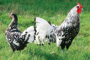 tiger chickens - black and white - small breeds