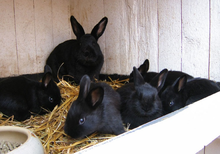 rabbit breeds black - alaska rabbit