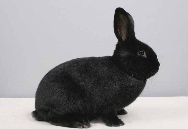 breeds - rabbit -german