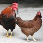 small chickens - bantam