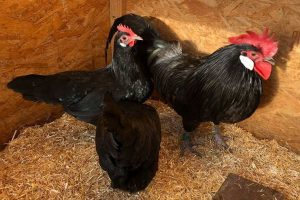 blakc german creeper - chicken breeds - bantam