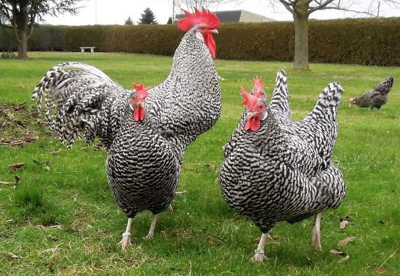 german chickens - Coucou