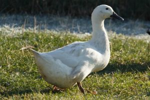 belgian - duck breeds