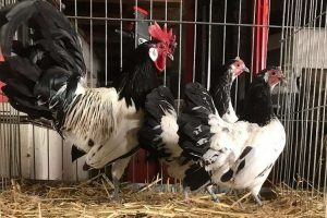 bantam type breeds