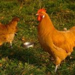 german chicken breeds - Sachsenhuhn