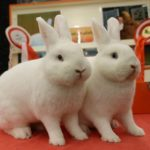 Hulstlander - dutch rabbit breeds